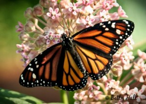 monarch-on-milkweed-500x357