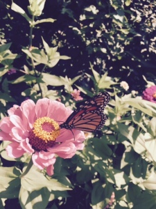 Monarch on zinnia 8 14 15