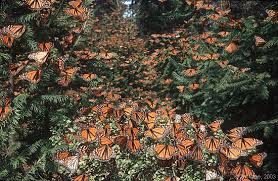 a monarch 4