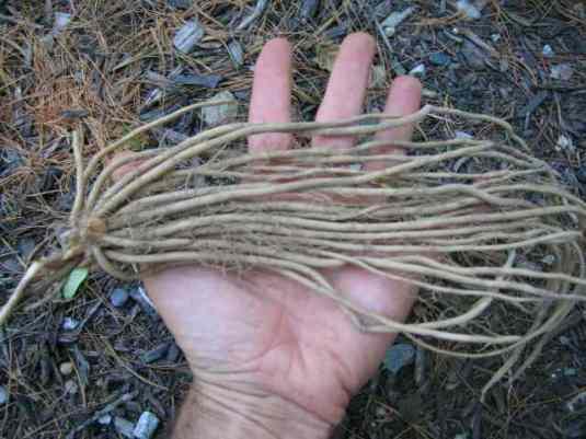 Asparagus04